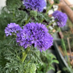 【HERSエンゲイブ】ギリアの花のぼんぼり