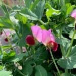 【HERSエンゲイブ】野菜の花見シーズンです!