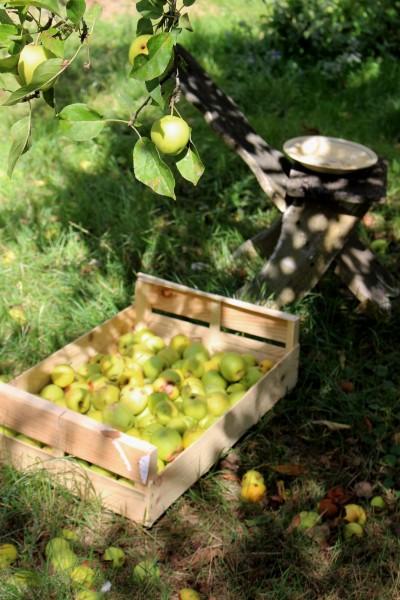 IMG_7812 D リンゴひらい