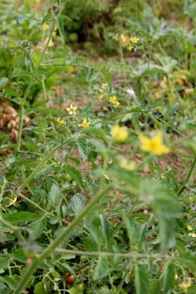 IMG_8537 Bトマトの花