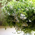 【LIFE STYLE】パリ近郊 花とともに暮らす ㊶カモミールの季節